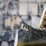 Im großen Gebiet von Chitzen Itza gibt es immer wieder kleine Reptilien die es sich auf den Gebäuden gemütlich machen.